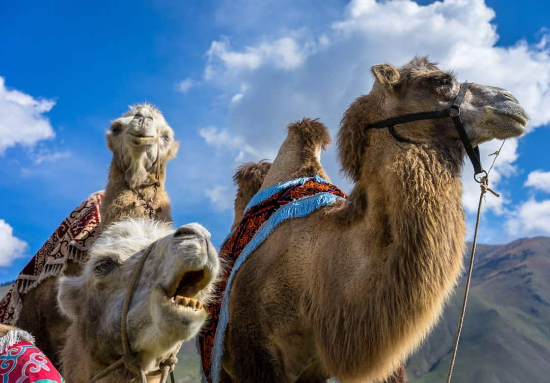 Photos Of Kyrgyzstan Camels World Nomad Games