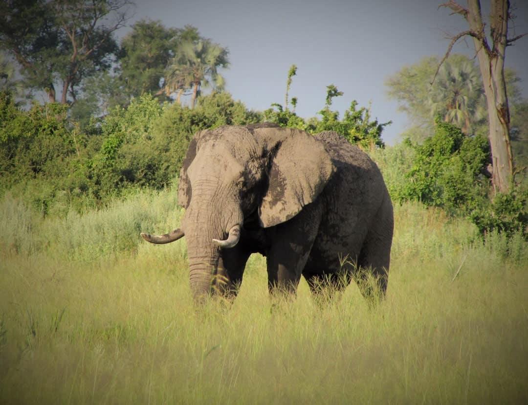 Elephant Okavango Delta