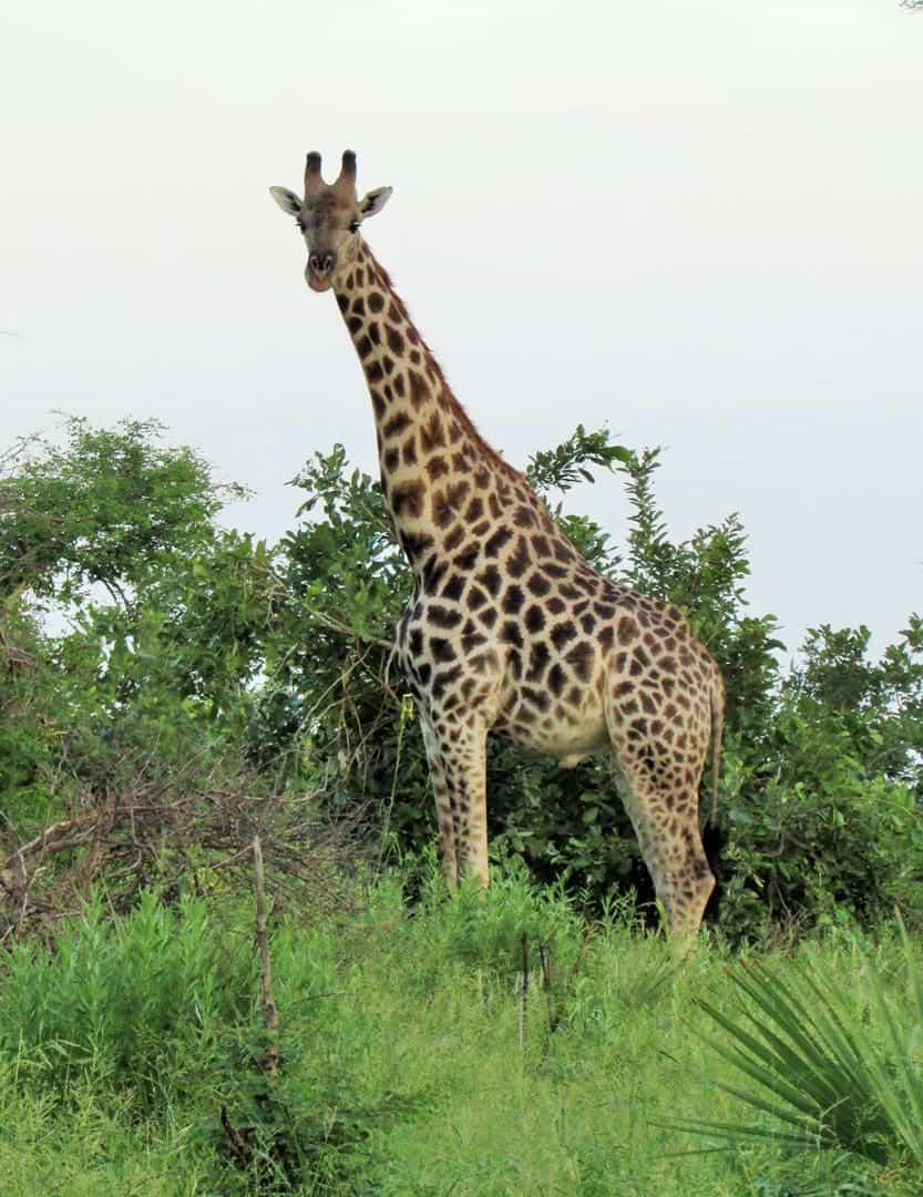 Giraffe Okavango Delta