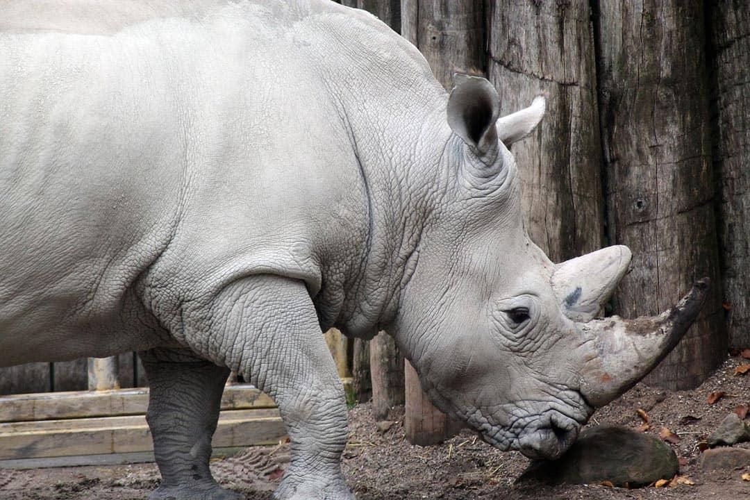 Rhino South African Safari