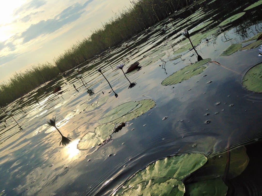 Water Lily Okavango Delta